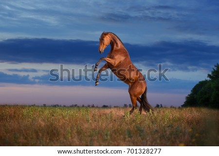 The bay reared horse on the evening sky background #701328277