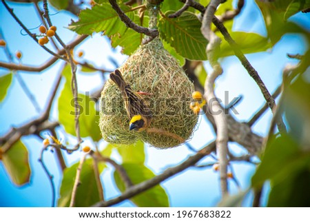 The baya weaver is building a nest with a blade of grass. Foto stock ©