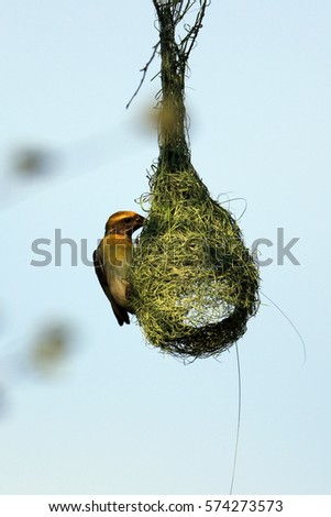 Shutterstock The baya weaver (Ploceus philippinus) marketing nest