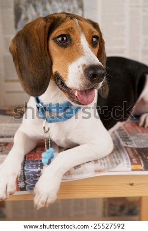 The beagle lies on the newspaper and a table.