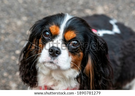 The beautiful and lovely dog Cavalier King Charles Spaniel is looking into the close up lens Photo stock ©