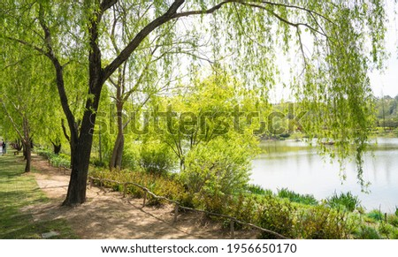 The beautiful appearance of the weeping willows with new yellow green leaves blooming on the lake shore Stock photo ©