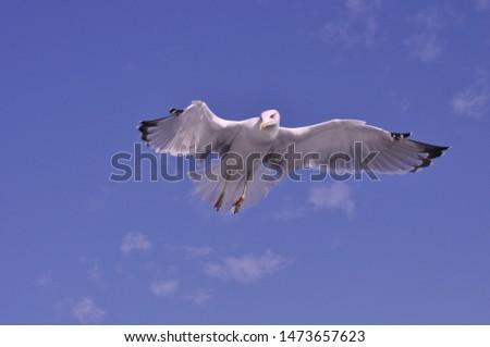 The beautiful bird European herring gull (Larus argentatus) in the natural environment