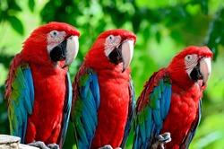 The beautiful birds Greenwinged Macaw.