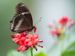 The beautiful black butterfly with white line on the edge of its wings catching on the deep pink mini flower in the sunny day, blurry background.