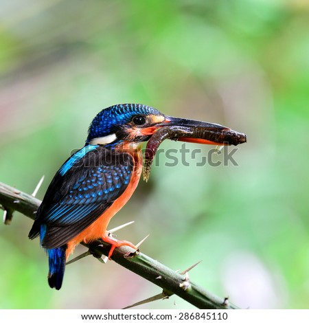 The beautiful Blue-eared kingfisher, the little blue bird carrying fish in her mouth feeding the chicks in the nest hole with care and love