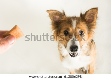 The beautiful Border Collie named Shirley in the studio for her photoshoot #613806398
