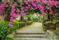 the beautiful Bougainvillea in the garden, Thailand