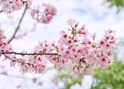 The beautiful branch of blooming pink cherry blossom sakura at Alishan national park, Taiwan.