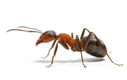 The beautiful brown ant worker is the most valuable insect on a white background.