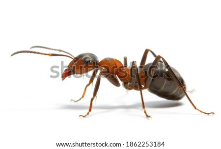 The beautiful brown ant worker is the most valuable insect on a white background. Photo stock ©