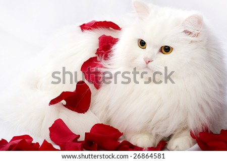 The beautiful cat  on a white background in petals of roses