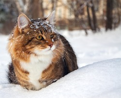 the beautiful cat on sits on snow