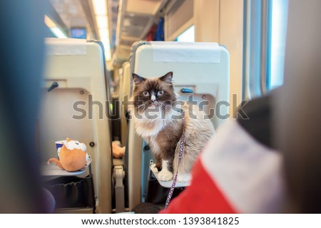 The beautiful cat with blue eyes of breed a ragdoll sits on a folding table in the car of the passenger train.