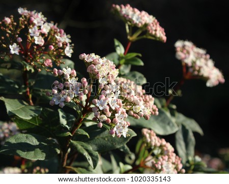 The beautiful early spring flowering shrub viburnum tinus also the beautiful early spring flowering shrub viburnum tinus also known as laurestine lit by mightylinksfo