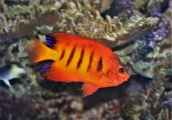 The beautiful flame angelfish in marine aquarium. Centropyge loriculus is a marine angelfish of the family Pomacanthidae, a popular fish in the aquarium trade.