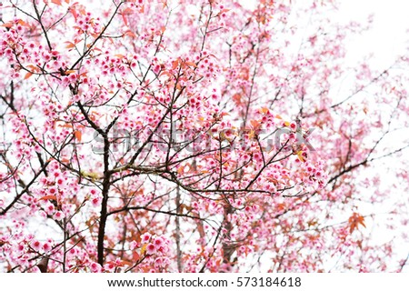 Nature background with blossoming sakura branch royalty free stock - Royalty Free Abstract Blur Of Cherry Blossom Sakura