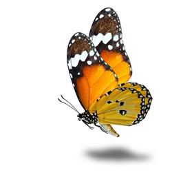 The beautiful flying Plain Tiger butterfly (Danaus chrysippus) or so called african monarch, flying orange butterfly