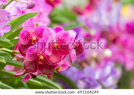 The beautiful fresh pink violet or others color orchid with the blur or bokeh background in the farm or garden in the good conditionand good light.