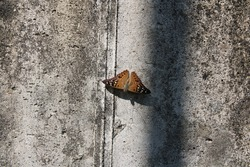 The beautiful golden brown moth in on the wall