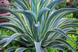 The beautiful green leaves with yellow edges of an agave or maguey plant.