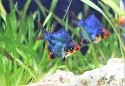 The beautiful green short body tiger barb (Sumatra barb) is swimming in freshwater aquarium with aquatic plants background. Puntigrus tetrazona is tropical cyprinid fish.