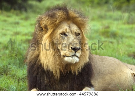 The Beautiful Head of an Adult Male Lion