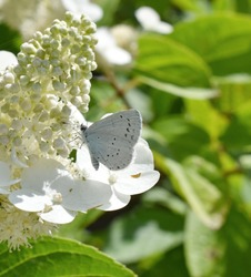 the beautiful Holly Blue butterfly on white hidrangea flowers.