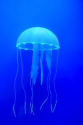 The beautiful jellyfish