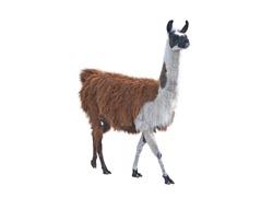the Beautiful lama on a white background
