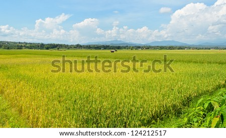 The beautiful landscape of rice fields in Thailand. 9:16