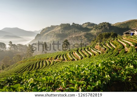 The beautiful Landscape of strawberry plantation in the morning with the mist blue sky and sunlight at Ban Nor Lae, Doi Ang Khang, Chaing Mai, Thailand. #1265782819