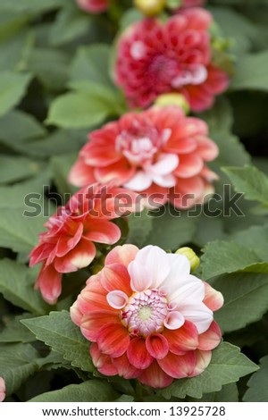 The beautiful line of pink and red dahlia flowers