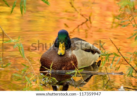 The beautiful mallard duck sitting in the bushes on the pond, the water in the reflection of colorful autumn trees.