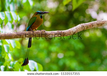 The beautiful Motmot