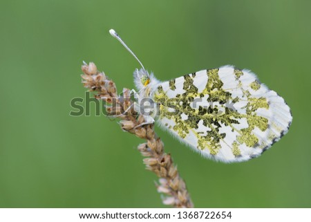 The beautiful Orange tip butterfly (Anthocharis cardamines)
