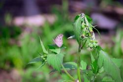 The beautiful photography of a Butterfly sitting on a green leaf of redflower radleaf plant.