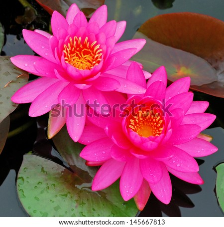The beautiful pink waterlily or lotus flower.