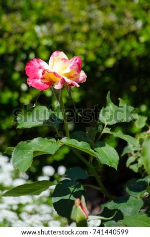 The Beautiful Pink-yellow hybrid rose flower at a botanical garden. #741440599
