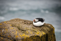 The beautiful Puffin a rare bird specie photographed in Iceland