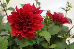 The beautiful red Dahlia flower