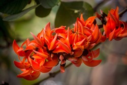 The beautiful reddish-orange Butea monosperma flower blooms in nature in a tree in the garden.