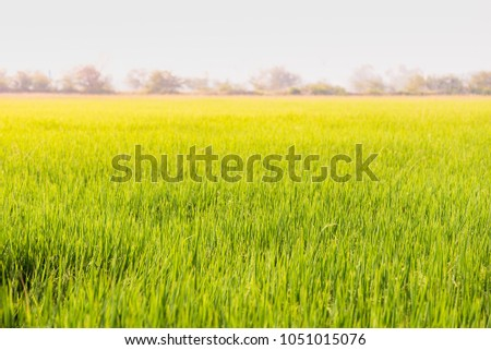 The beautiful rice field in Thailand, southeast Asia. #1051015076