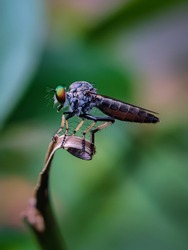 The beautiful robber fly landed on the leaves isolated with blur background. Selective focus or random focus or defocused and out of focus.