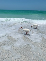 The beautiful shore of Sarasota Florida, birds picking out sea creatures looking for an afternoon snack.