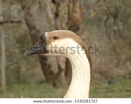 the beautiful snout of geese