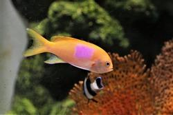 The beautiful squarespot anthias (pink square anthias, squarespot fairy basslet)  in marine aquarium. Pseudanthias pleurotaenia is a reef dwelling fish of the Pacific Ocean in Serranidae family.