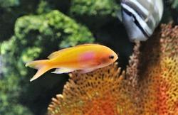 The beautiful squarespot anthias (pink square anthias,squarespot fairy basslet)  in marine aquarium. Pseudanthias pleurotaenia is a reef dwelling fish of the Pacific Ocean in Serranidae family.