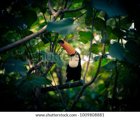 The beautiful toucan is on the green tree