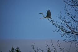 The beautiful wading bird, the great egret, in latin Ardea alba, also known as common egret, large egret, or great white egret in flight leaving tree with open wings in early morning before sunrise.